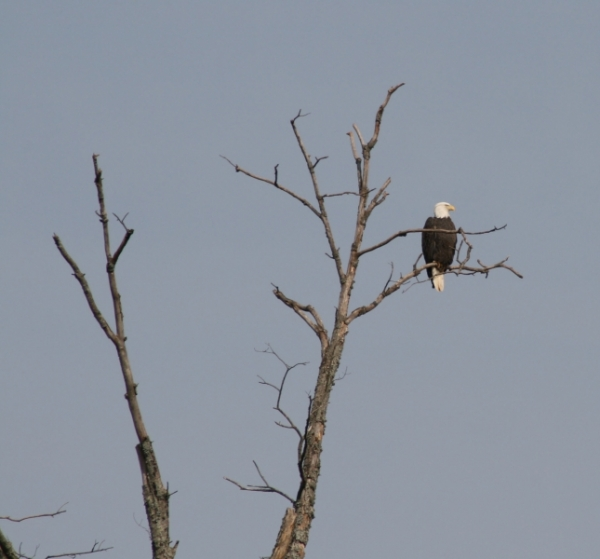 Bald eagle in dead tree by Smith Cemetery, 2008. Photo by Dave Polacsek, used with permission.